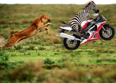 zebra-on-a-bike-lion